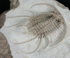 Boedaspis Trilobite - Spectacular Preparation Sequence