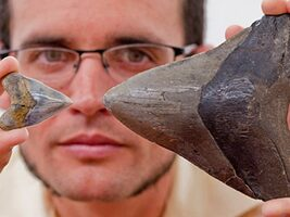 Megalodon Shark Nursery Found in Panama