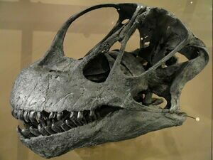 A Camarasaurus skull showing tooth placement.