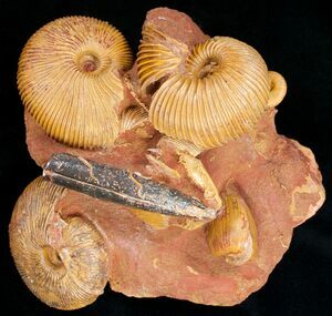 Fossils are the remains and traces of ancient organisms.  A cluster of fossil ammonites, an extinct cephalopod.