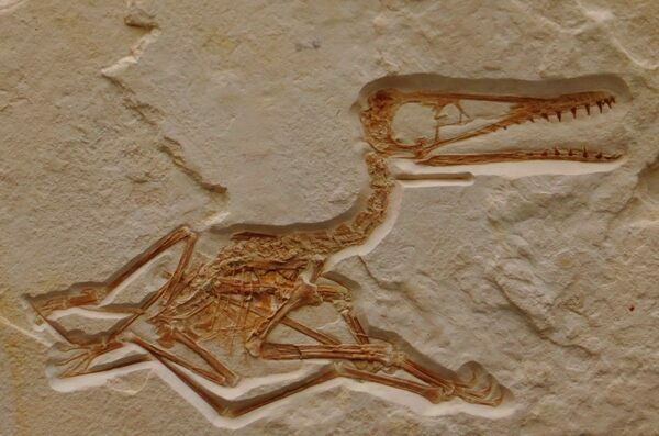 Fossil of a fossil pterosaur. History Museum, Karlsruhe.  Photo by Ghedoghedo.  Creative Commons License