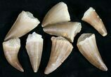 "Real Fossil Mosasaur Tooth - 1"" Size - Photo 4"
