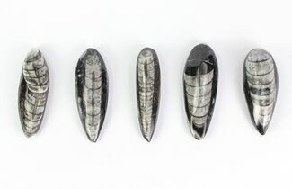 "1 1/2 - 2"" Polished Orthoceras Fossils - 5 Pieces"