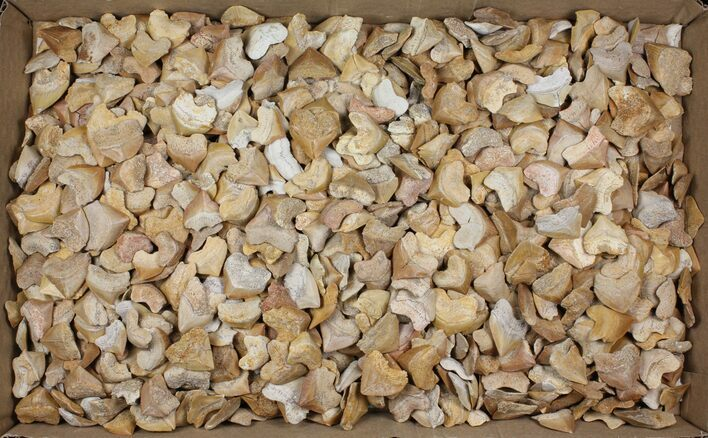 Wholesale Lot: Fossil Crow Shark (Squalicorax) Teeth - 1000 Pieces - Photo 1
