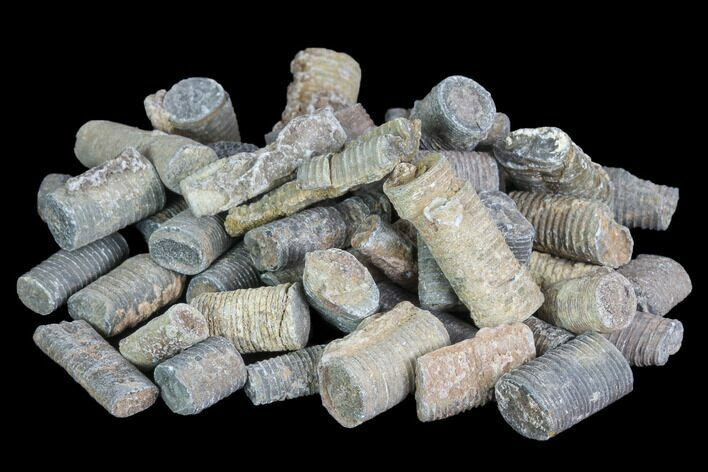 Devonian Crinoid Stems - 3oz (~50 pieces) - Photo 1