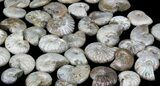 Bulk Silver Iridescent Ammonites Fossils - 10 Pack - Photo 3