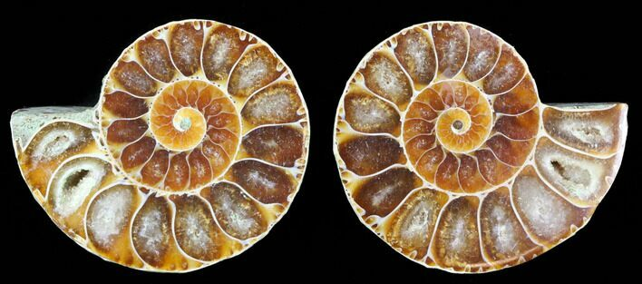 "1 1/4"" Cut & Polished, Agatized Ammonite Fossil - Madagascar - Photo 1"