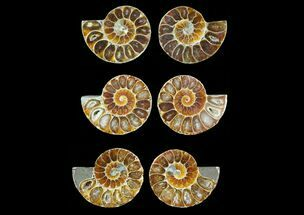 "1.25 to 1.5"" Cut, Agatized Ammonite Fossils - 25 Pairs"