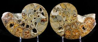 "Buy Rare 10"" Argonauticeras Ammonite (Pair) - Amber Colored Crystals - #23356"