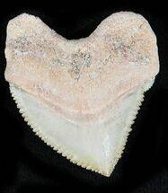 Buy Nice Squalicorax (Crow Shark) Fossil Tooth - #23506