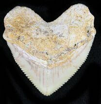Nice Squalicorax (Crow Shark) Fossil Tooth For Sale, #23513