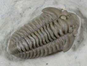 "Buy Beautiful 1.22"" Calymene nowlani Trilobite - Quebec - #26437"