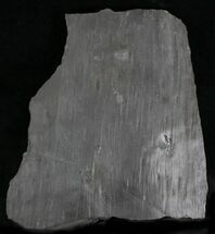 "Buy 7"" Sigillaria (Syringodendron) Trunk Section - West Virginia - #28564"