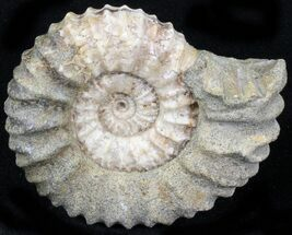 "1.75"" Pavlovia Ammonite Fossil - Siberia, Russia For Sale, #29741"