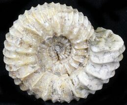 Pavlovia raricostata - Fossils For Sale - #29766