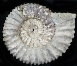 "2.3"" Pavlovia Ammonite Fossil - Siberia, Russia For Sale, #29774"