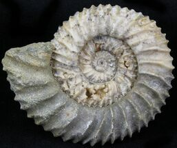 "2.2"" Pavlovia Ammonite Fossil - Siberia, Russia For Sale, #29780"