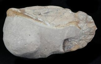 Fossil Lobster (Meyeria) - Cretaceous, Isle of Wight For Sale, #30770