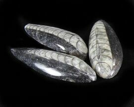 Bulk Polished Orthoceras (Cephalopod) Fossils - 5 Pack For Sale, #30788