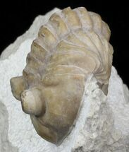 Asaphus bottnicus (Jaanusson 1954) - Fossils For Sale - #31302