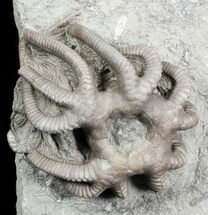 Agaricocrinus Crawforsville Crinoid With Rare Starfish! For Sale, #31325