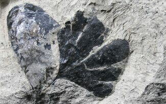 Ginkgo pluriparticus - Fossils For Sale - #31374