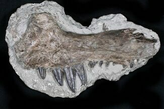 "Buy 8.6"" Xiphactinus Jaw Section - Terror of The Cretaceous Seas! - #31435"