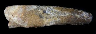 "Buy 3.69"" Spinosaurus Tooth - Real Dinosaur Tooth - #36799"