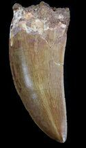 "2.81"" Carcharodontosaurus Tooth - Sweet Serrations For Sale, #37424"