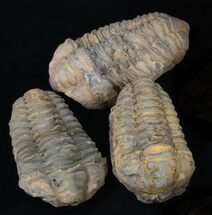 Bulk Large Calymene Trilobite Fossils - 25 Pack For Sale, #37520