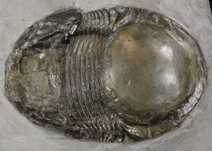 "2.95"" Illaenoides Trilobite From Rochester Shale - Very Rare Species For Sale, #14153"