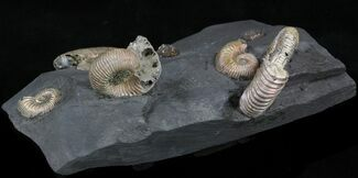 "Iridescent Ammonite Fossils Mounted In Shale - 6.5x3.7"" For Sale, #38219"