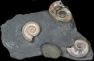 "Iridescent Ammonite Fossils Mounted In Shale - 6""x3.5"" For Sale, #38231"