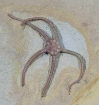Exceptional Jurassic Starfish (Palaeocoma) - Lyme Regis For Sale, #38939