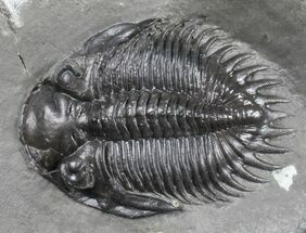 "Buy Huge 1.71"" Greenops Trilobite - Windom Shale, New York  - #39061"