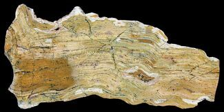 "12.6"" Strelley Pool Stromatolite - 3.43 Billion Years Old For Sale, #39191"
