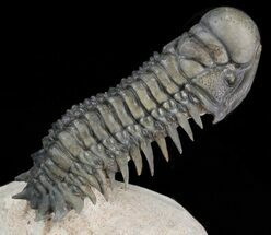 "Buy 3.1"" Crotalocephalina Trilobite - Great Detail - #39796"