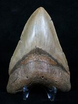 Carcharocles megalodon, South Carolina Coast, 5.05 inches, #4182