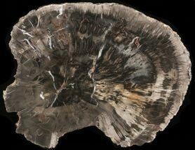 "8"" Petrified Wood (Araucaria) Round - Arizona For Sale, #40157"