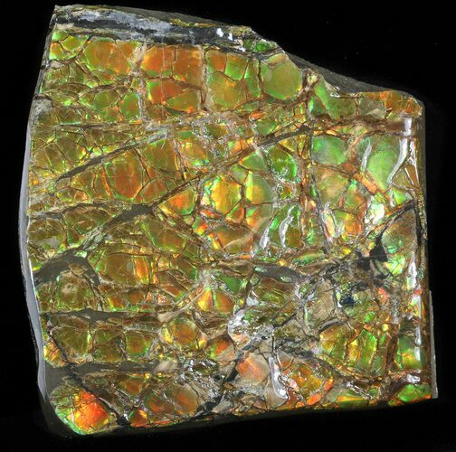 "2.6"" Brilliant Iridescent Ammolite - Fossil Ammonite Shell"