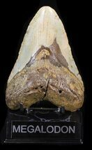 Carcharocles megalodon - Fossils For Sale - #40248