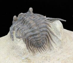 Leonaspis haddanei - Fossils For Sale - #40149