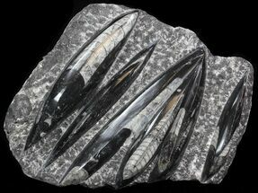 "Polished Orthoceras (Cephalopod) Plate - 10.3"" For Sale, #40514"