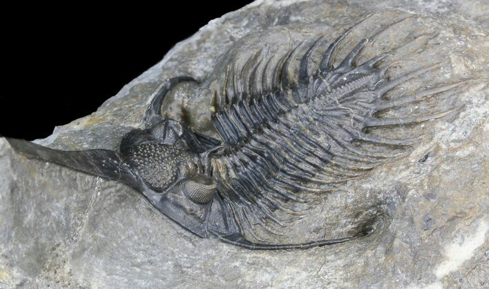 "3.2"" Spiny Psychopyge Trilobite - Excellent Preparation"