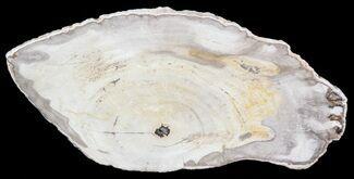 "6"" Petrified Wood (Araucaria) Slice - Madagascar For Sale, #41399"