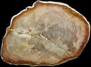"Buy 10.5"" Petrified Wood (Tropical Hardwood) Slab - Indonesia - #41902"