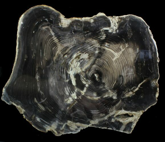 "11.3"" Thick, Petrified Wood Slab -  Sweethome, Oregon"