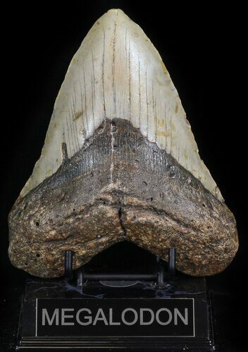 "Huge, 5.65"" Megalodon Tooth - North Carolina"