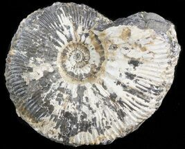 Kosmoceras (Guliemiceras) jasoni - Fossils For Sale - #42645