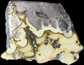 "1.9"" Polished Schalenblende Slice - Poland For Sale, #43913"